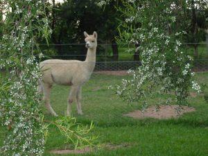 alpaca-herd-02