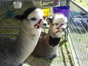 alpaca-herd-04