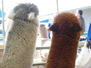 alpaca-herd-07
