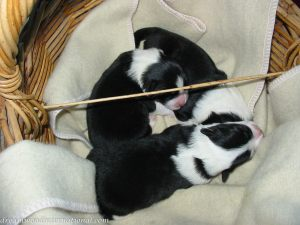 Puppies_014